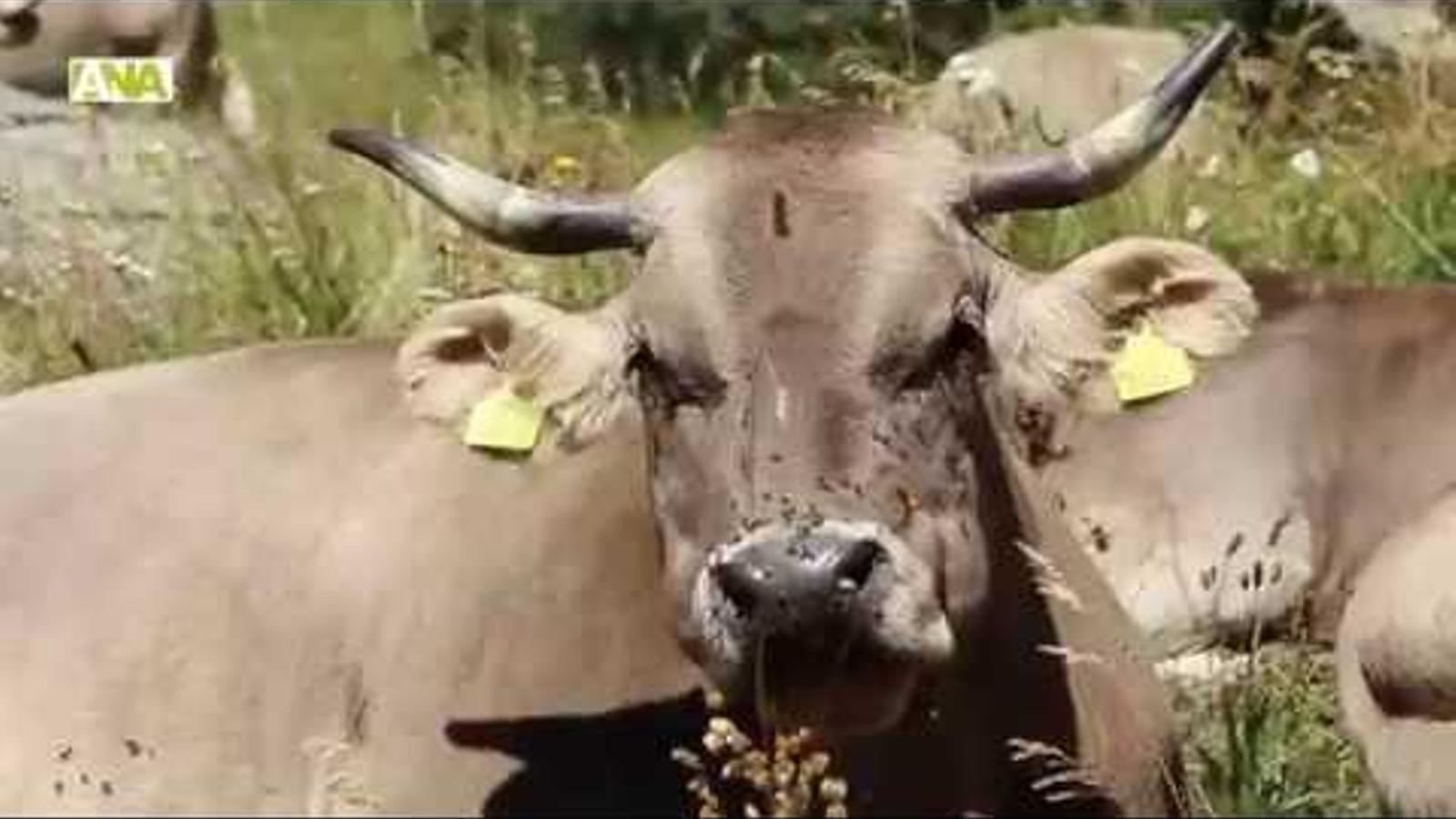 Tradicional benedicció del bestiar a la Rabassa d'Ordino