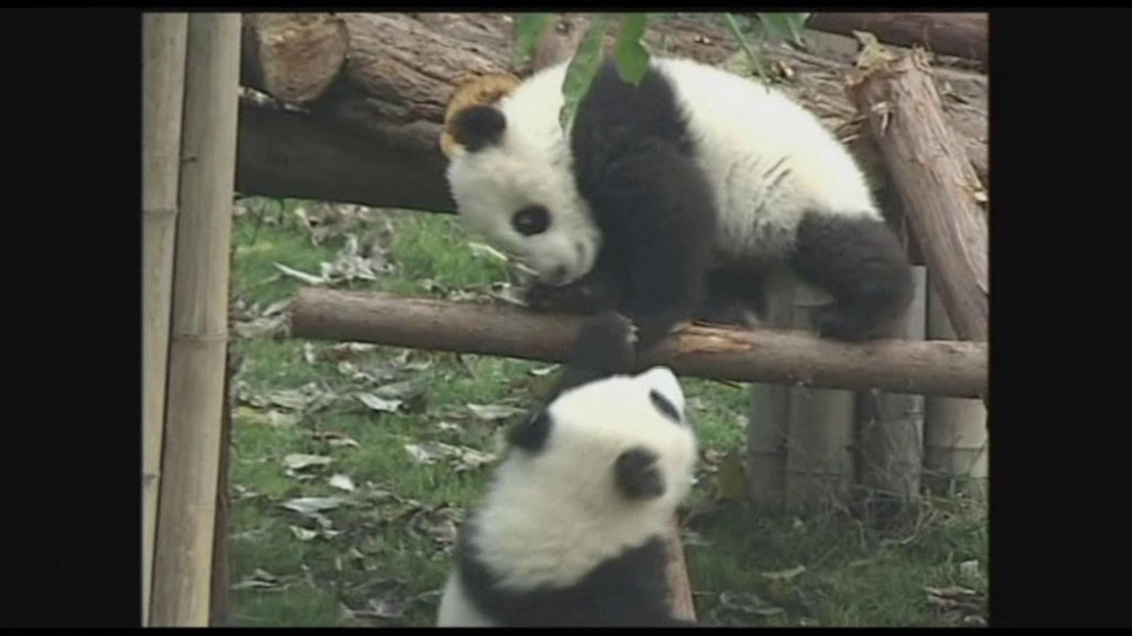 Dos pandes bessons fan les delícies dels visitants al parc de Chengdu, la Xina