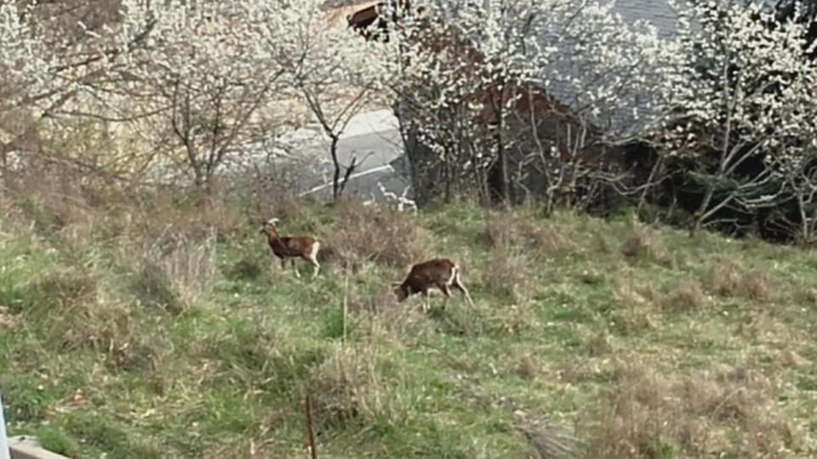 Els muflons propers a les llars. / FACEBOOK