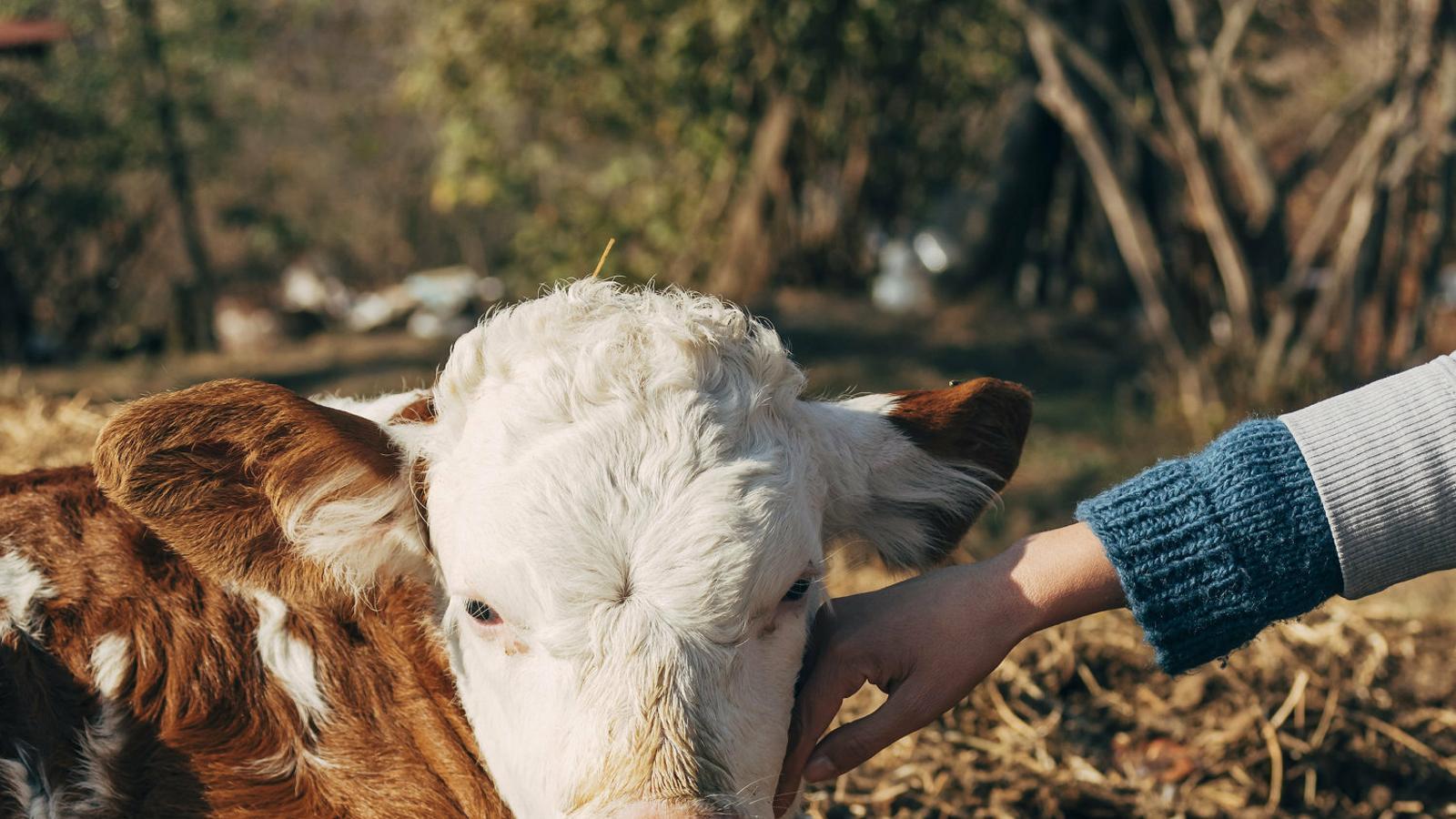 Es creu que les vaques poden detectar les emocions humanes i actuar en conseqüència.