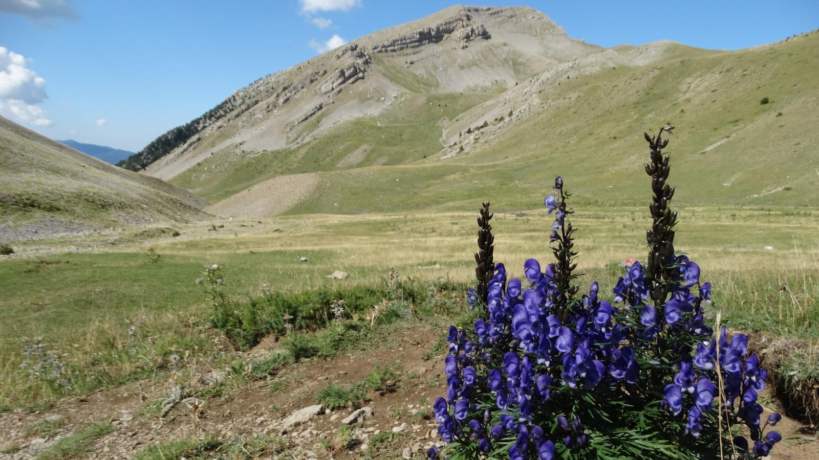 La planta més tòxica d'Europa ja floreix al Pirineu