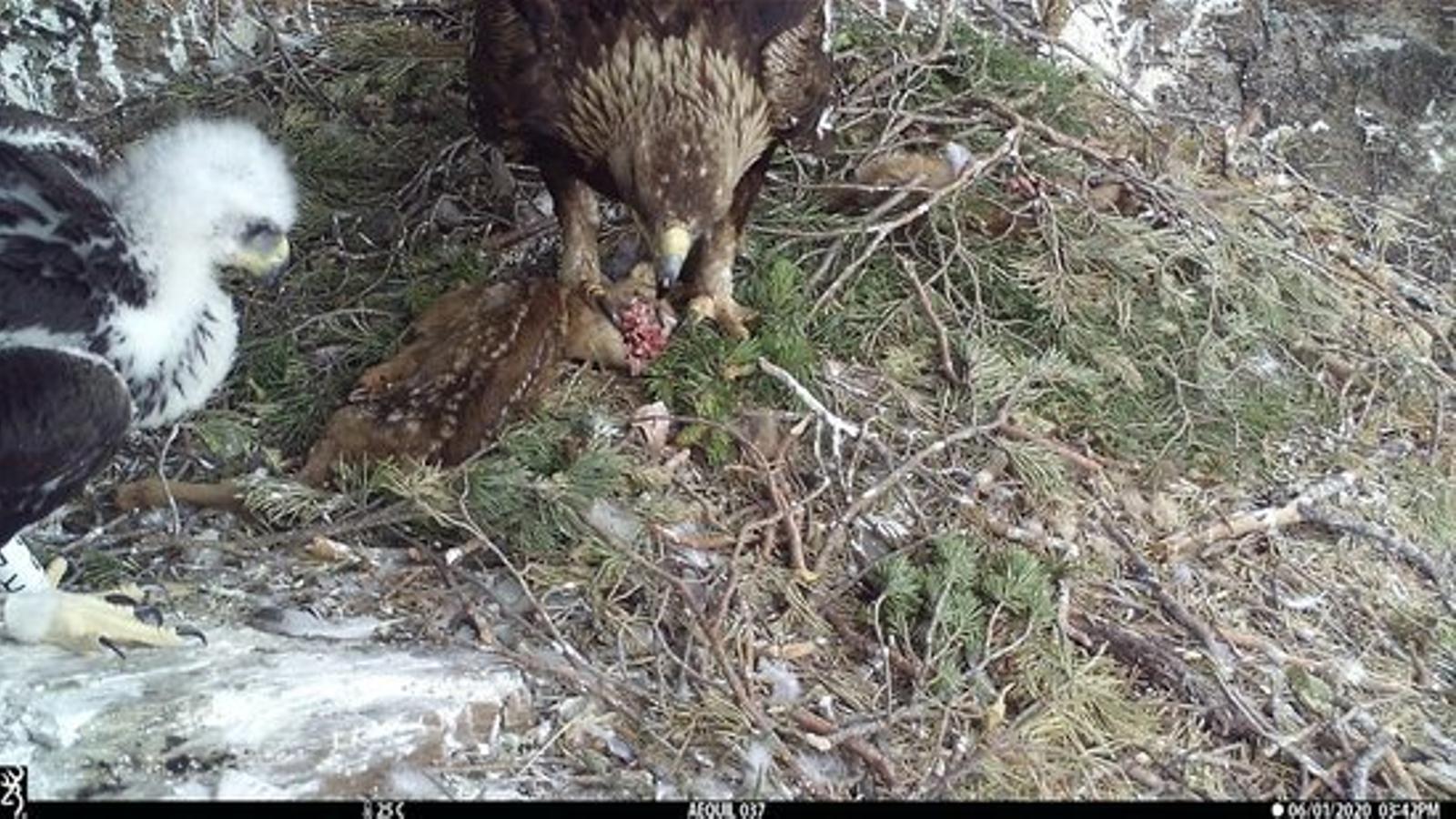 Una àguila daurada i la seva cria amb un cabirol mort, en una imatge d'arxiu. / GENERALITAT