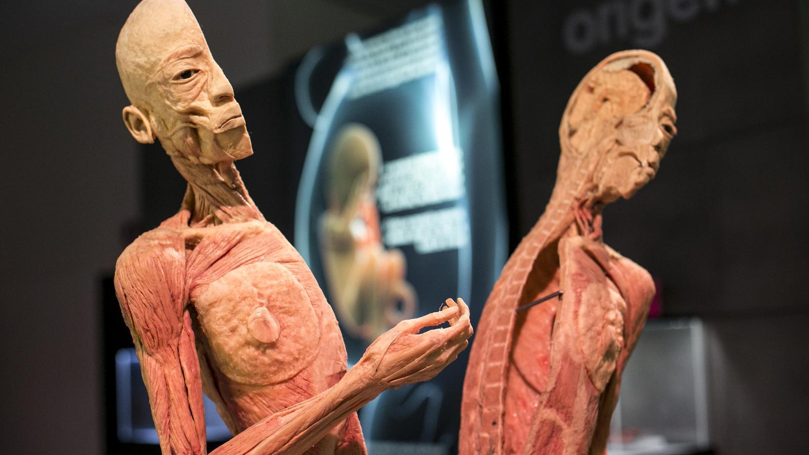 Human Bodies Com Som Els Humans Per Dins