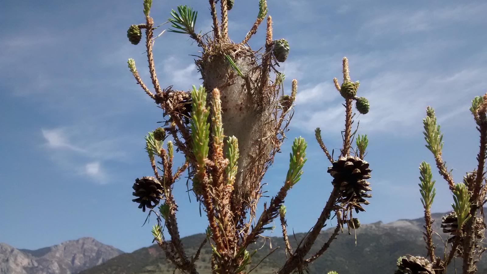 La primavera  retorna l'esperança a les pinedes devastades per la processionària
