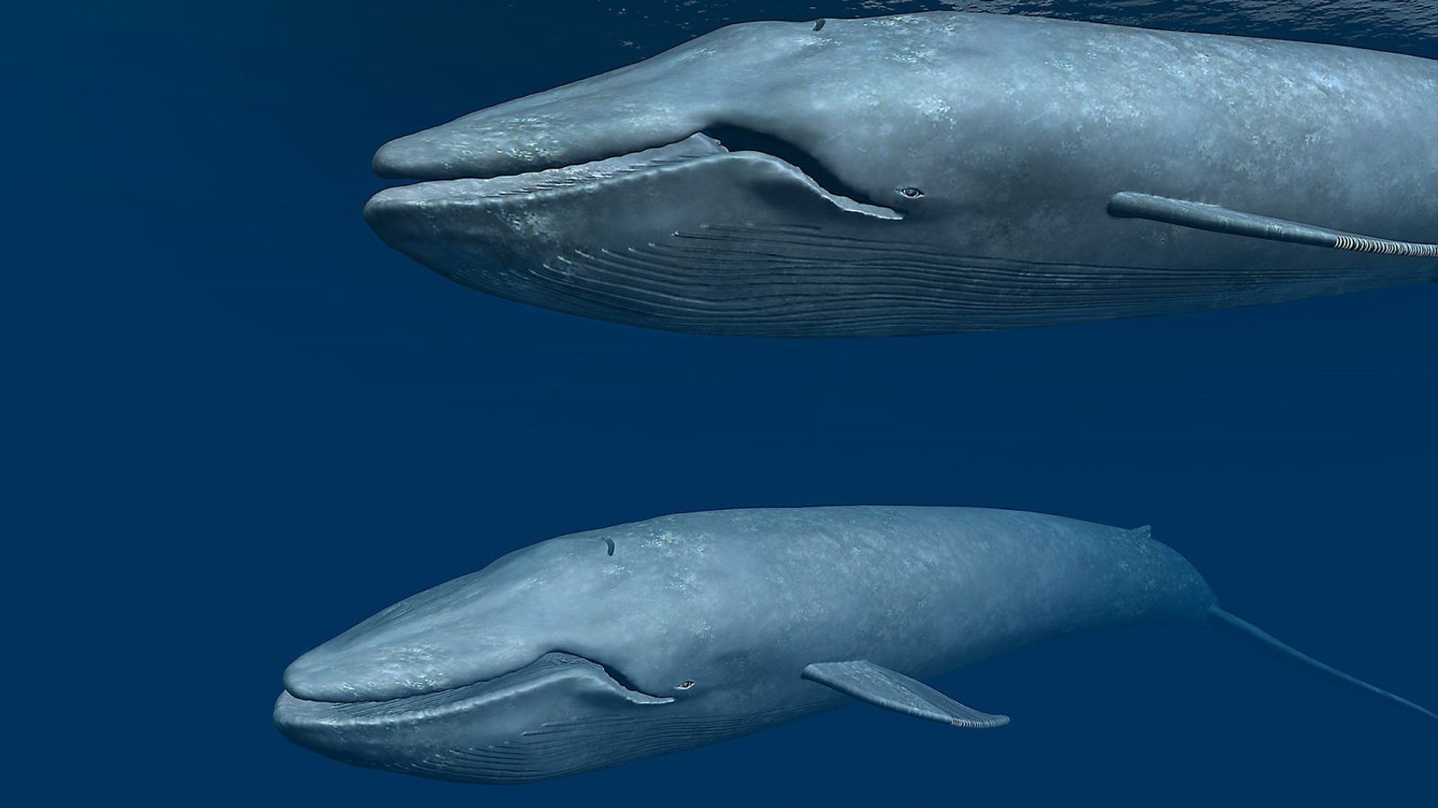 Les balenes  i el brogit de l'home sota  el mar