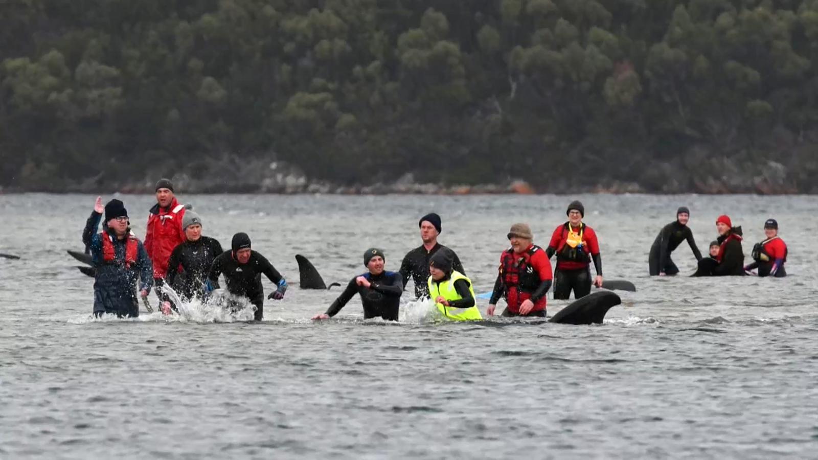 Rescat de les balenes atrapades a Tasmània