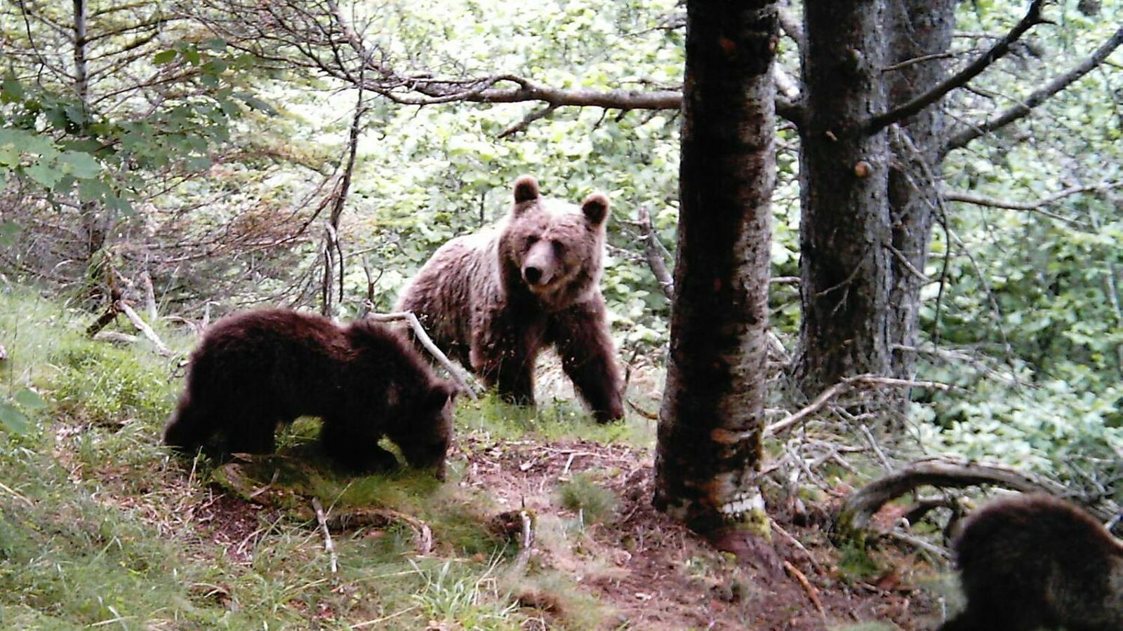 Una ossa amb dos cadells al Parc Natural de l'Alt Pirineu.