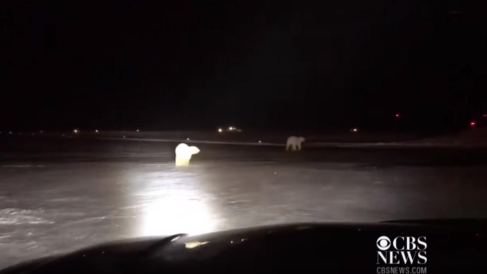Dos óssos polars famolencs irrompen en un aeroport d'Alaska