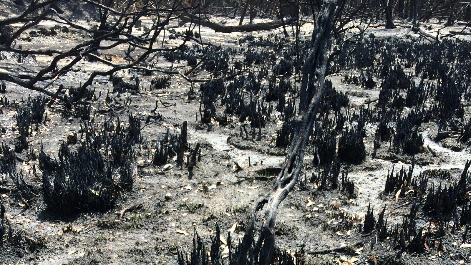 Un coala a l'illa australiana de Kangaroo, enmig  d'un bosc devastat.