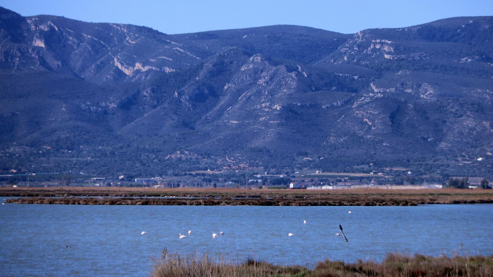 Flamencs a la llacuna de l'Encanyissada, al delta de l'Ebre, aquest dimecres