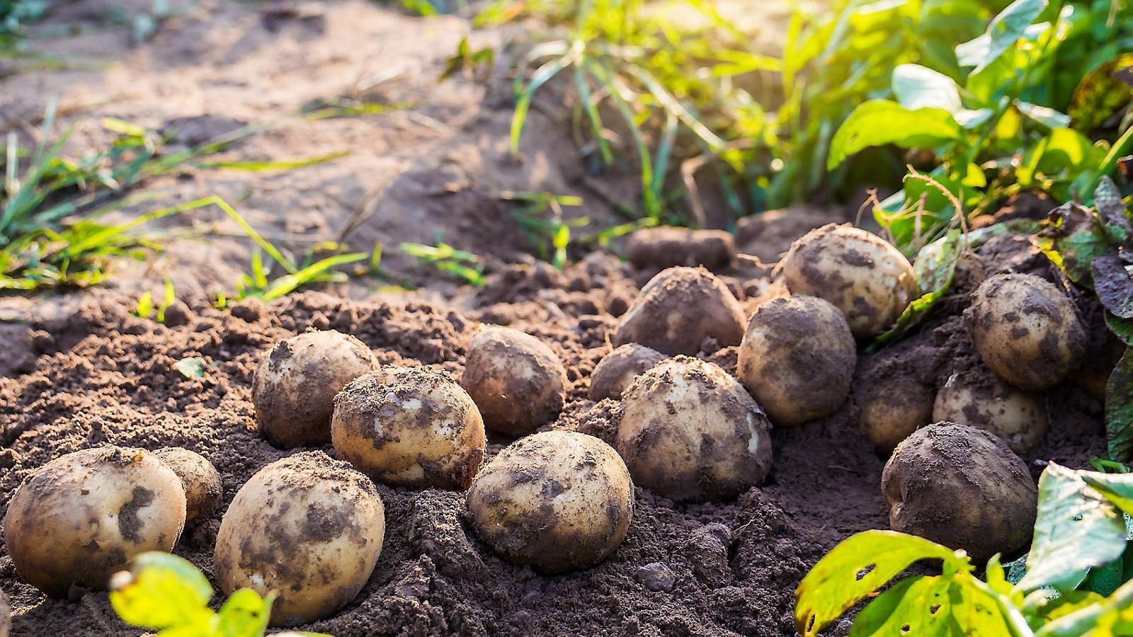 Patates,  un clàssic