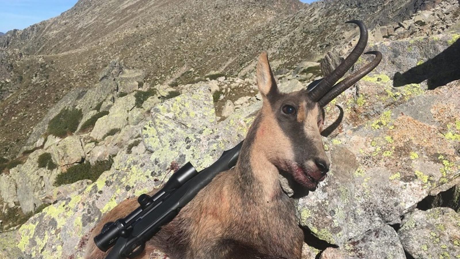 Imatge de l'isard abatut publicada per la revista especialitzada en caça / REVISTA JARA Y SEDAL