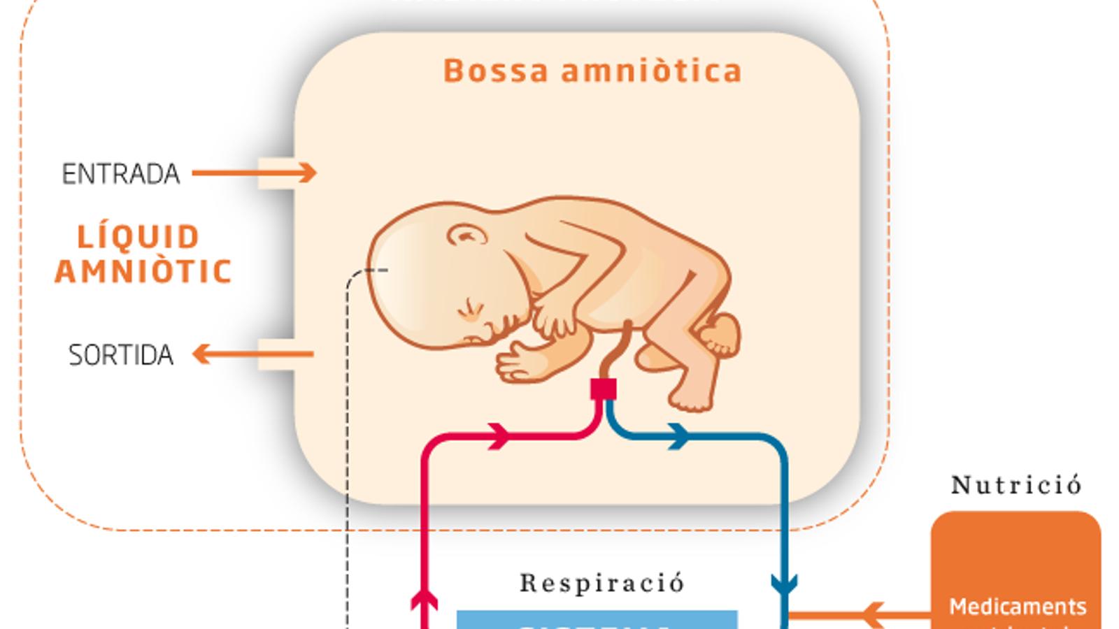 La placenta artificial que salvarà vides de prematurs es desenvoluparà a Barcelona