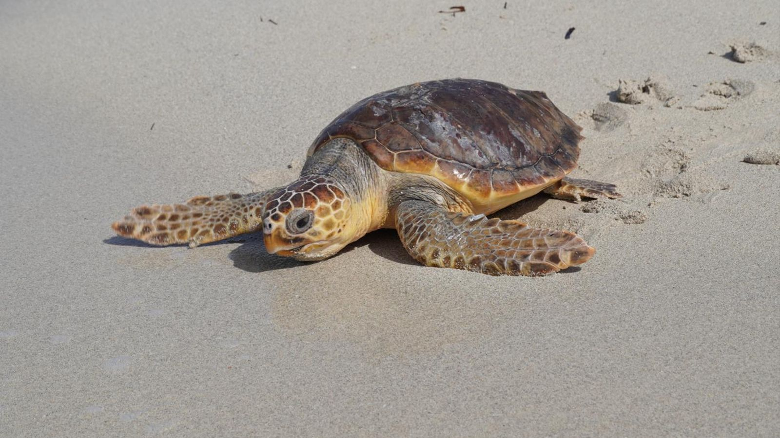 Alliberen tres tortugues marines al Parc Natural des Trenc