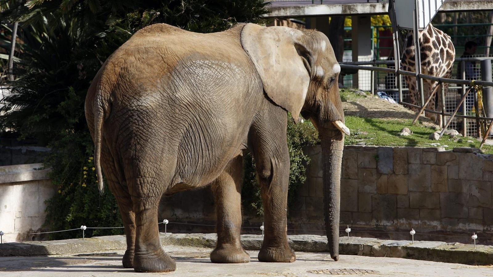 L'últim ple del mandat aprovarà el gran gir del Zoo de Barcelona