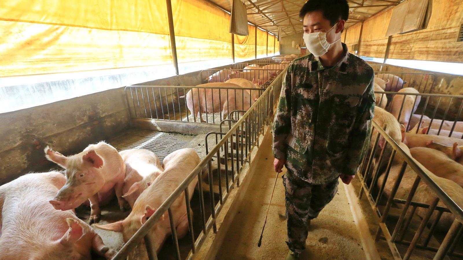 Un home en una granja de porcs a la província de Sichuan, a la Xina.