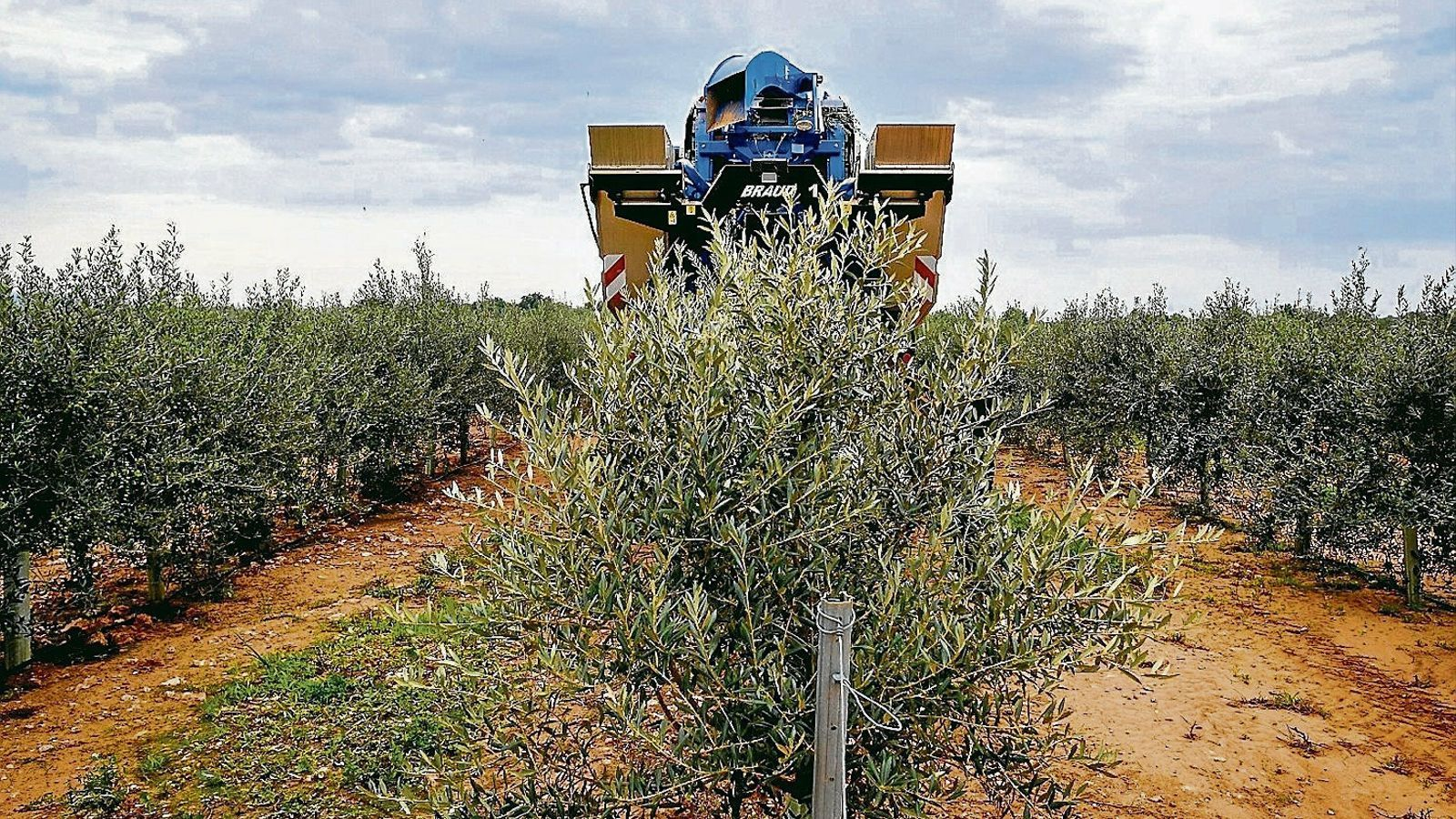 Els productors d'ametlla i oliva, entre els principals beneficiats de la reducció de l'IRPF a Balears