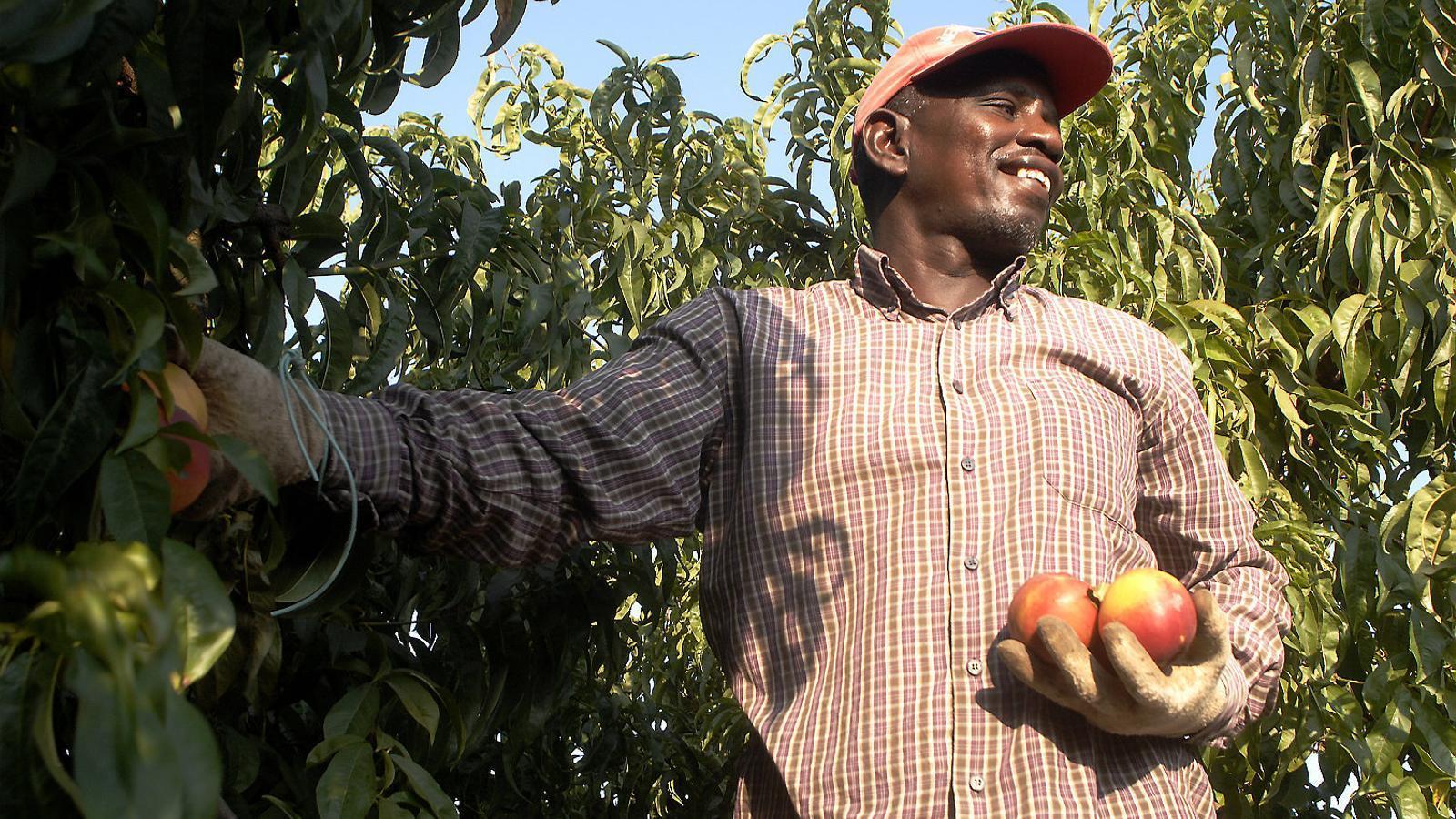 """Un temporer recollint nectarines a Torres del Segre. Unió de Pagesos demana que no es criminalitzi un sector que """"fa un esforç per complir el conveni""""."""