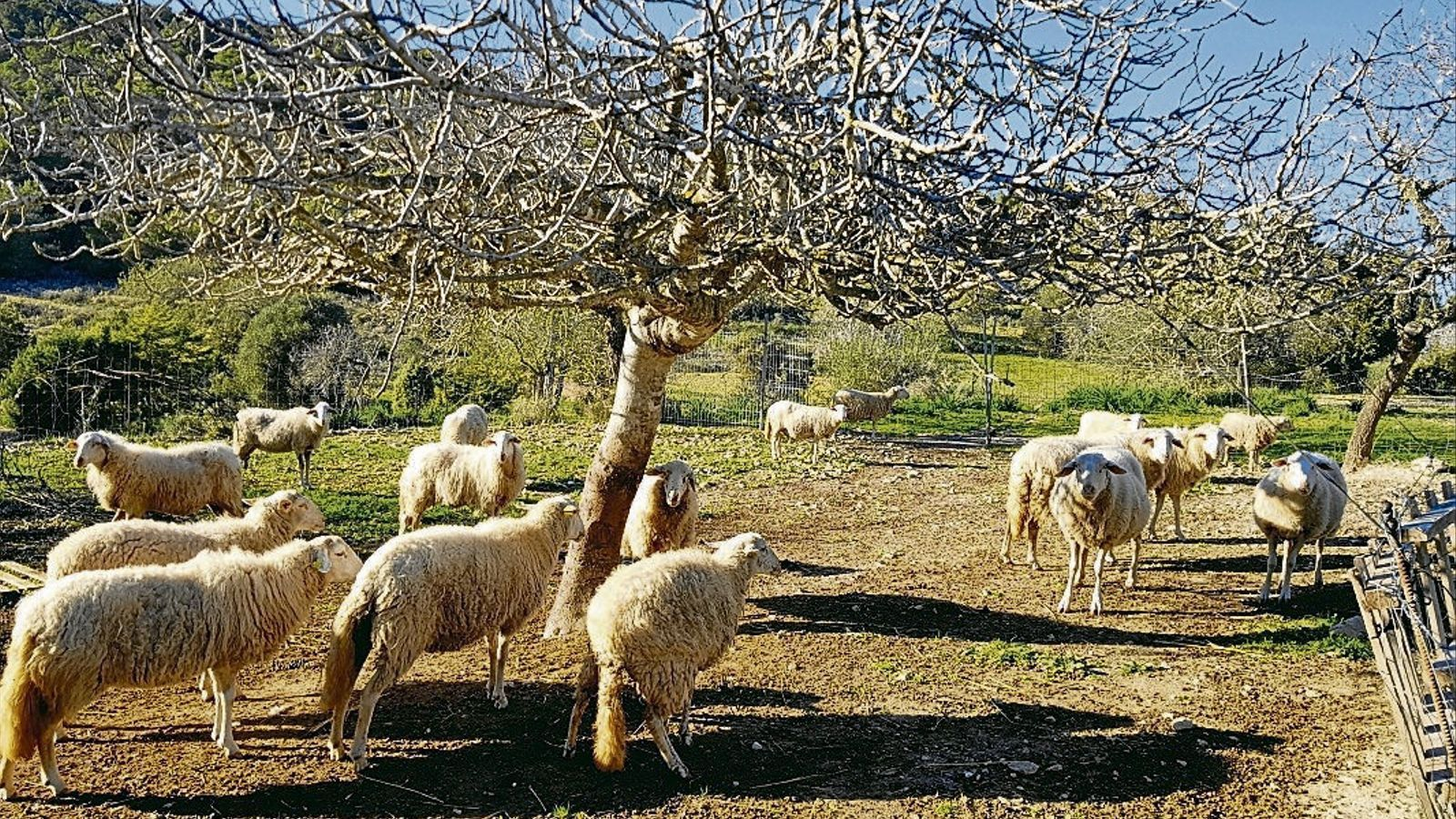 L'ovella i la cabra d'Eivissa, les races autòctones més amenaçades de l'Estat
