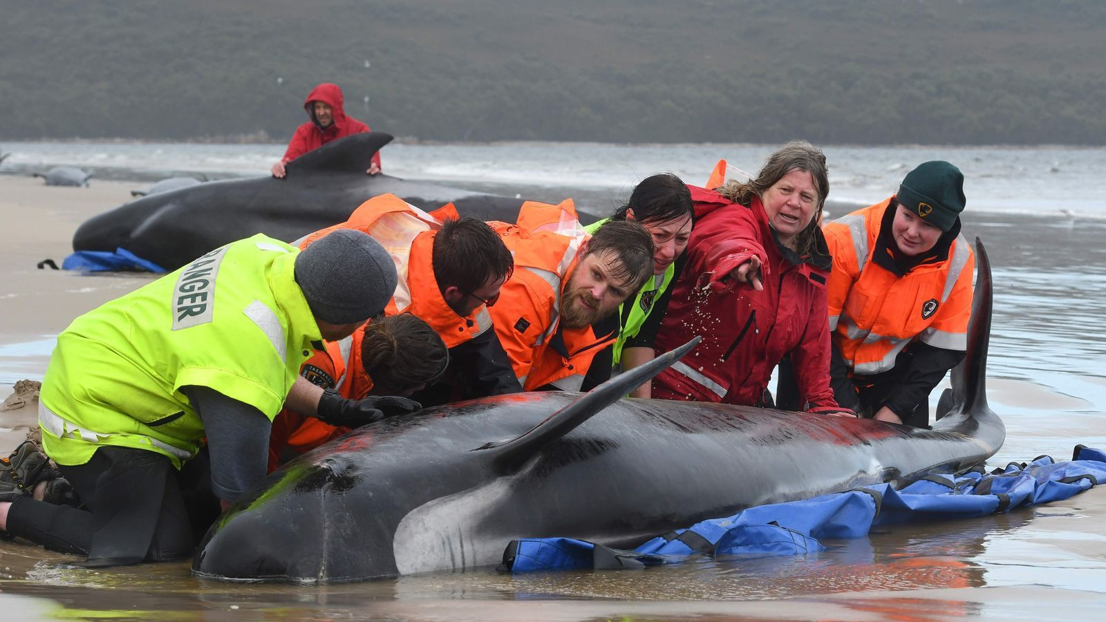 Equios de rescat intentant carregar una de les balenes vives atrapades a Tasmània