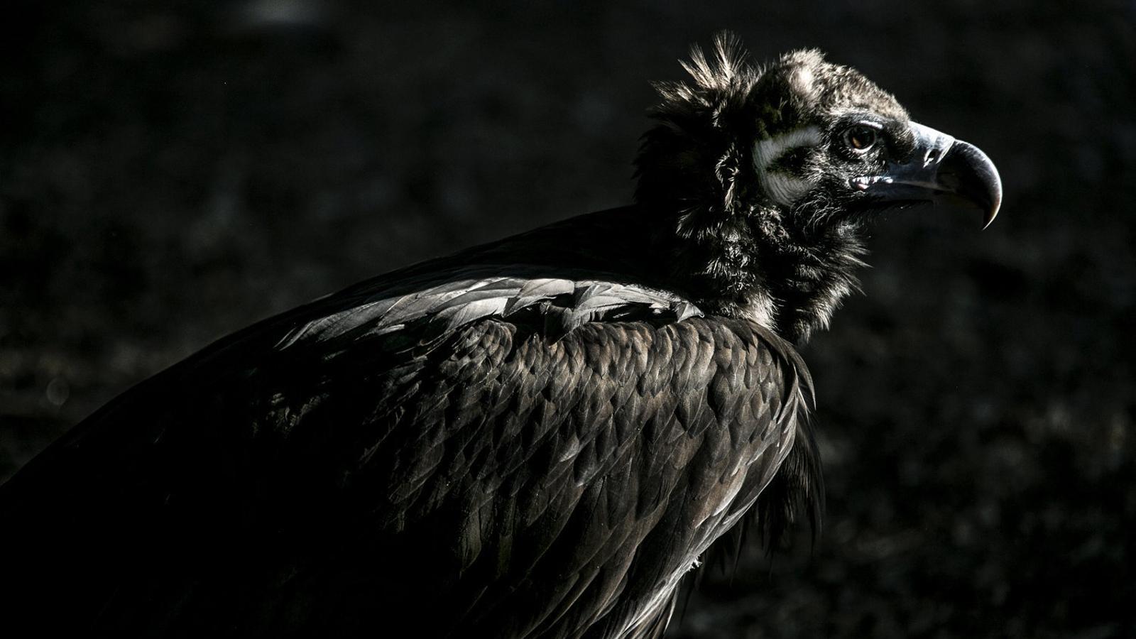 El futur del voltor negre