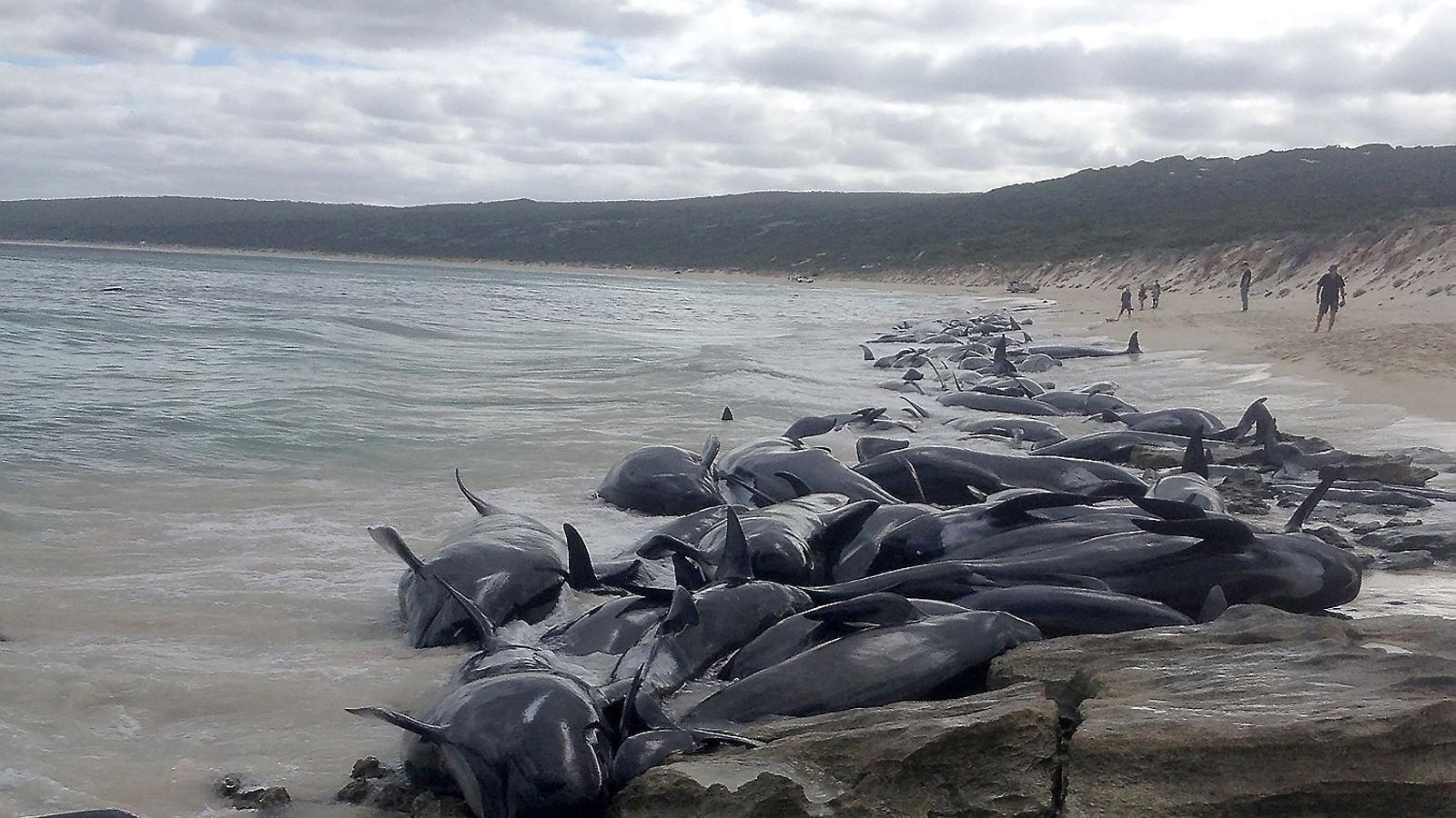 150 balenes moren encallades  en una platja d'Austràlia