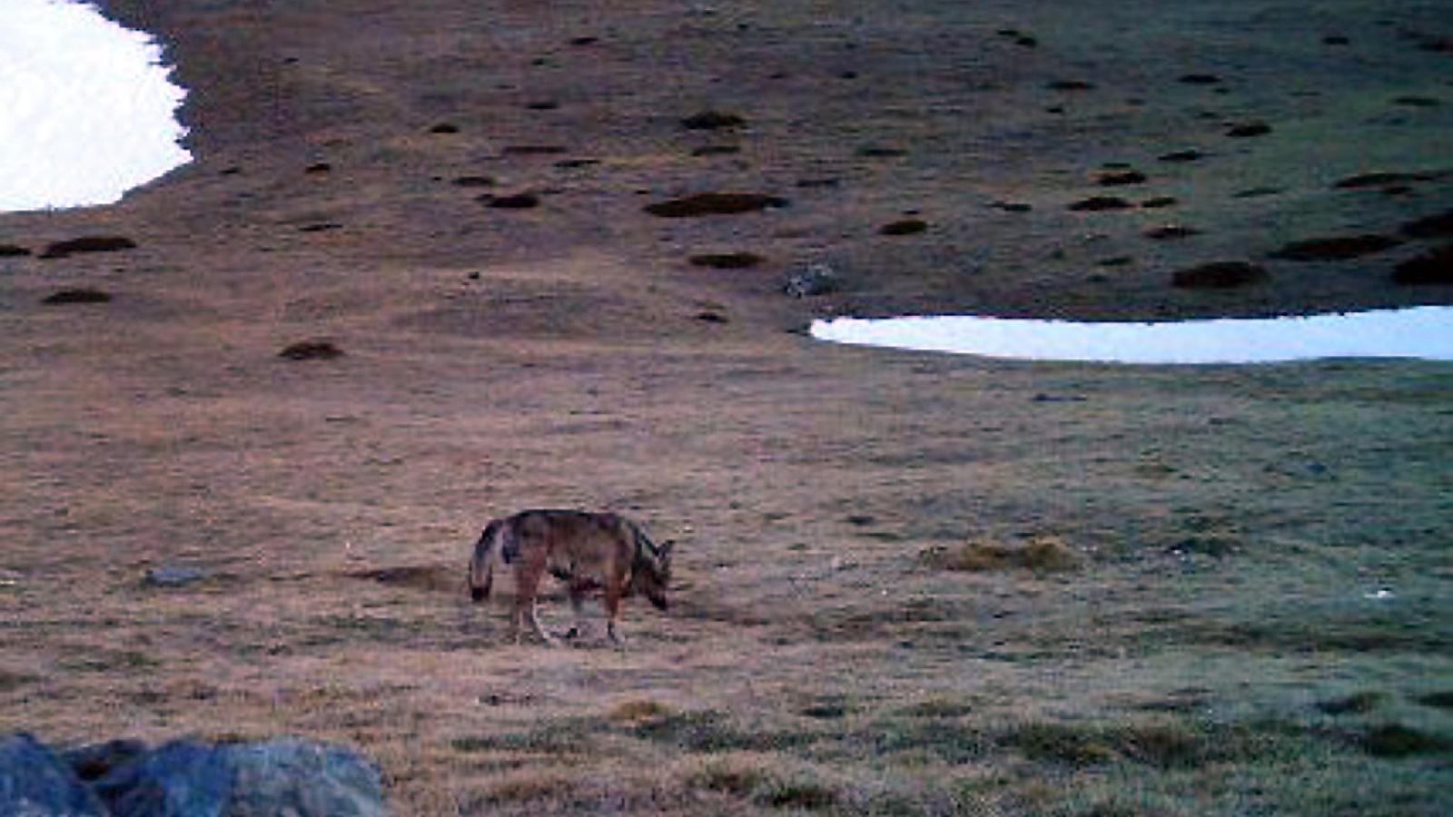 Imatge d'un exemplar de llop captada en un camp del Ripollès a finals del 2016. / ACN