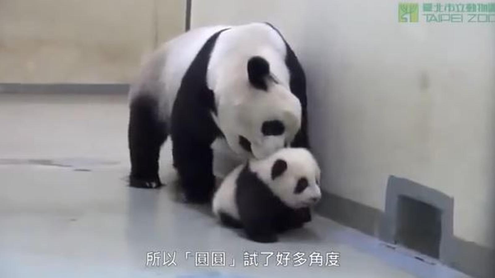 El petit panda que no vol anar a dormir