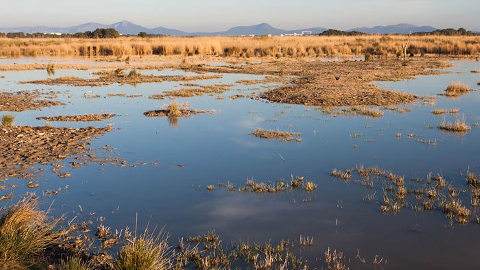 Segons el GOB, l'Albufera de Mallorca s'està salinitzant i eutrofitzant, la qual cosa s'està produint a un canvi ambiental accelerat que genera pèrdua de biodiversitat.