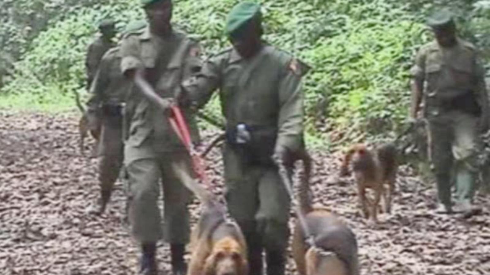 El Congo defensa l'habitat dels goril·les amb gossos