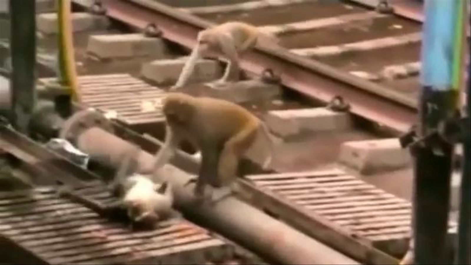 Un mico salva la vida d'un altre que havia estat electrocutat