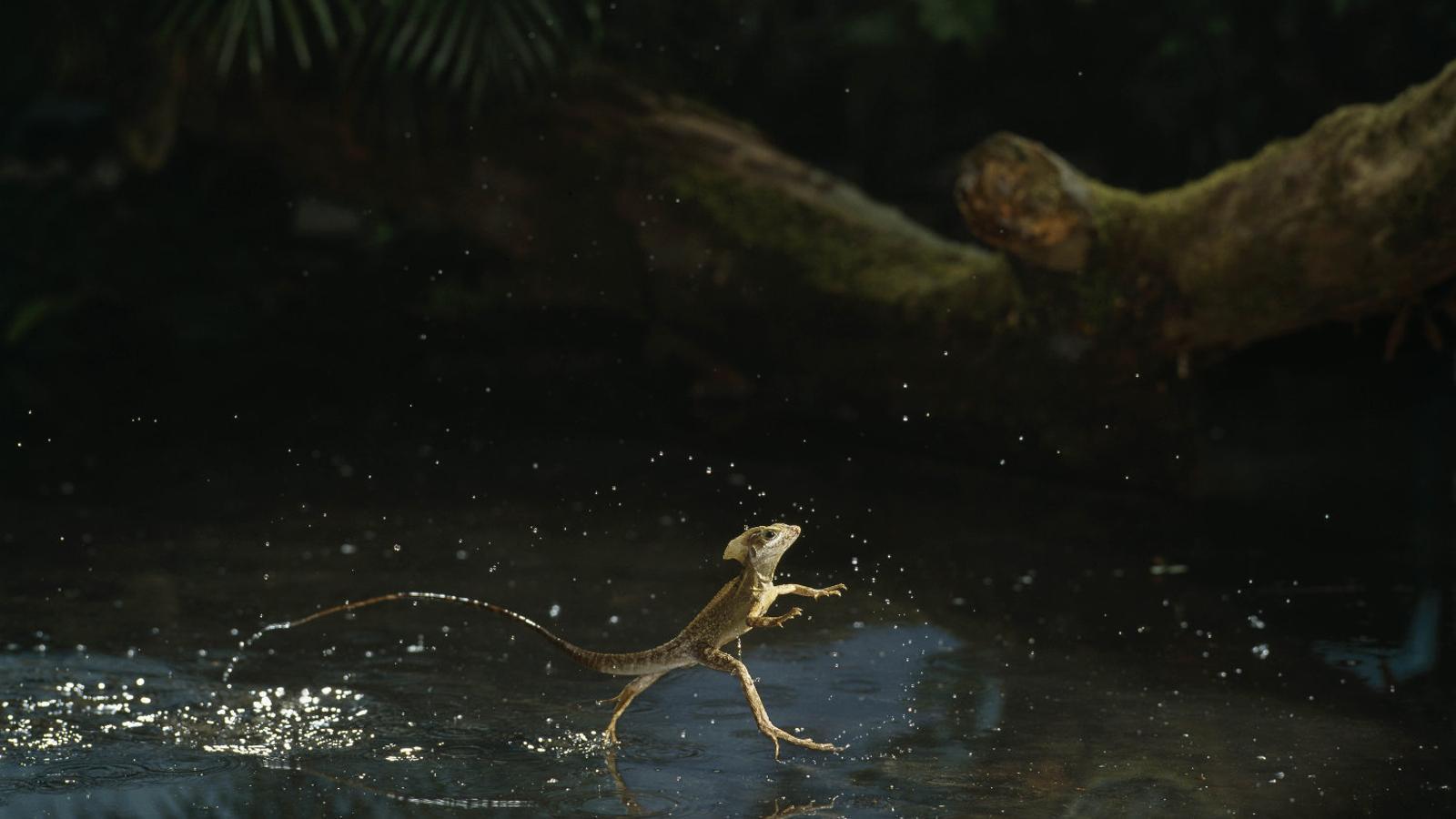 Descobreixen com els dragons corren sobre l'aigua