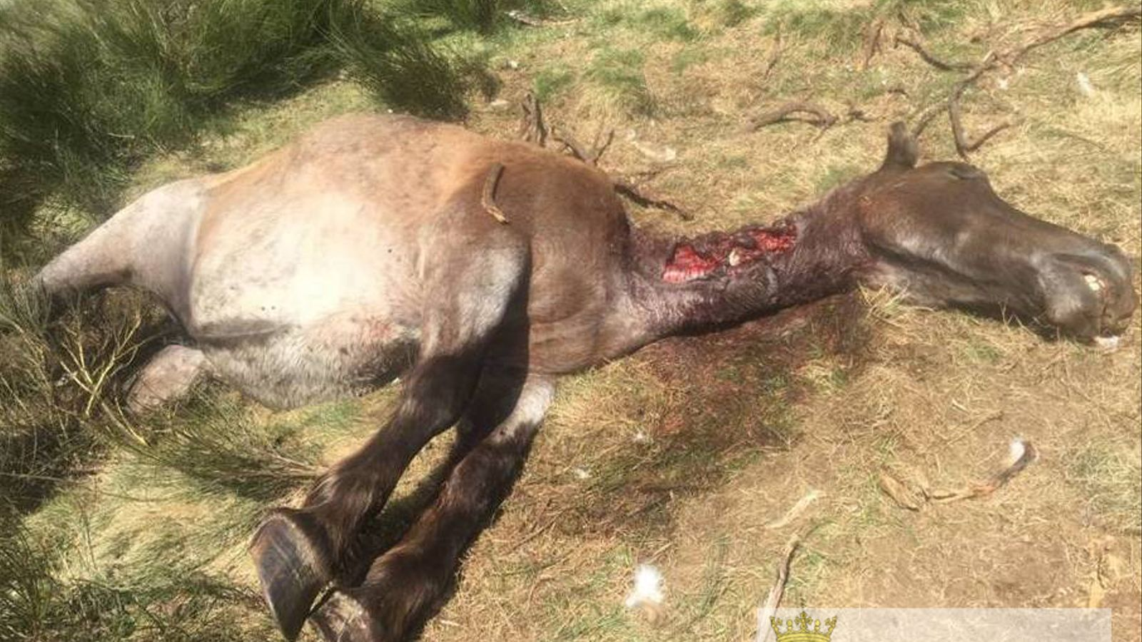 L'os Goiat ataca mortalment una euga a la Vall d'Aran