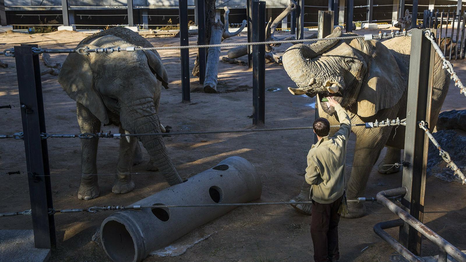 Els elefants són una de les moltes espècies del Zoo de Barcelona   Que no tenen la continuïtat garantida.