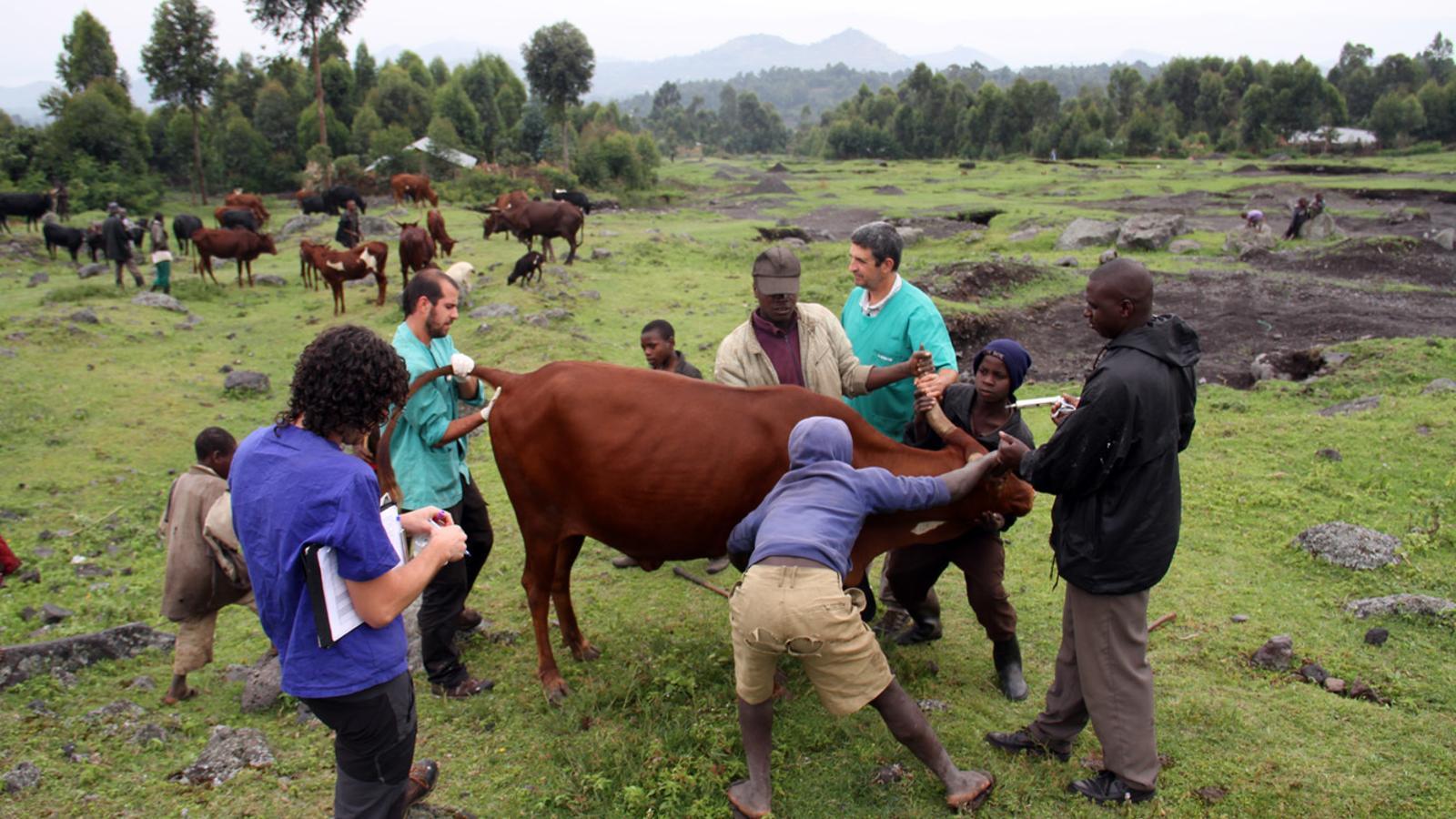 L'equip de Daktari agafant mostres d'una vaca a Mgahinga. / M. C. (ANA)