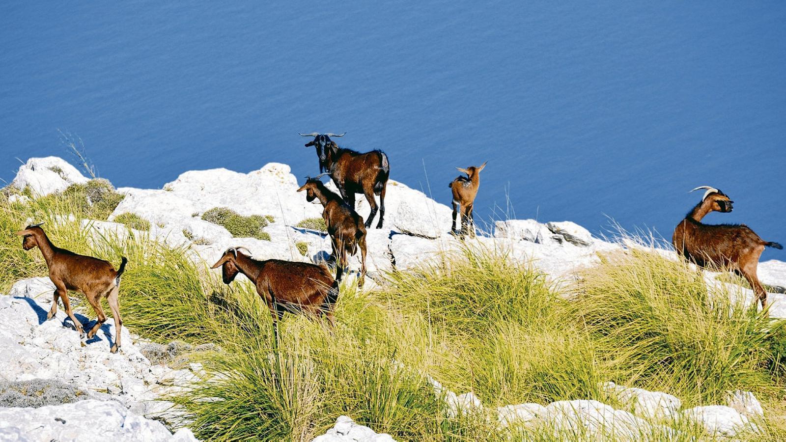 El paisatge forestal de la serra de Tramuntana està condicionat per la pressió excessiva de les cabres i la coberta vegetal és resultat d'una acció contínua dels herbívors, en primer lloc, i per la combinació del foc, les sequeres, les plagues  i la gestió històrica. A la foto, una guarda pastura a la mola de l'Esclop.