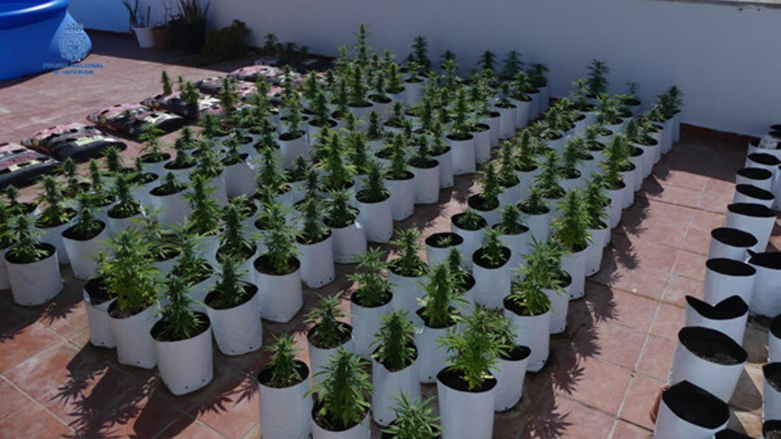 És la segona plantació de marihuana intervinguda per la Policia Nacional a Ciutadella en tan sols quinze dies.