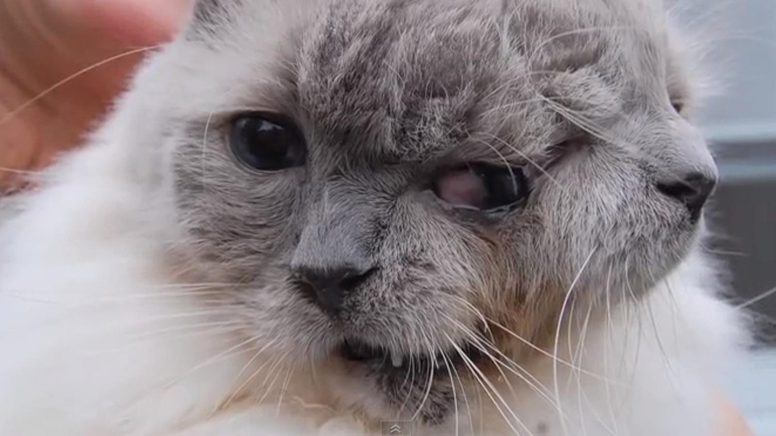 Mor als 15 anys FrankenLouis, el gat amb dues cares