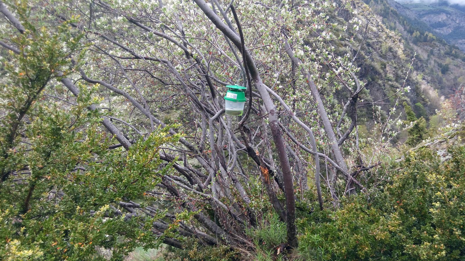 Una de les trampes per a la papallona del boix ubicada a Encamp. / CENMA
