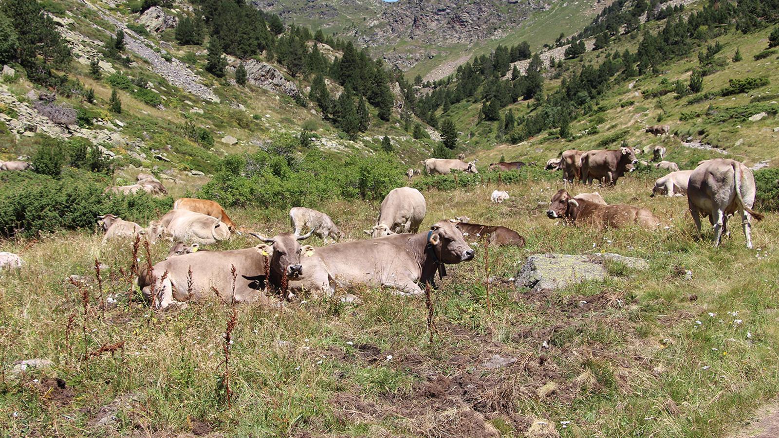 Una imatge del bestiar a la Rabassa d'Ordino. / P. R.