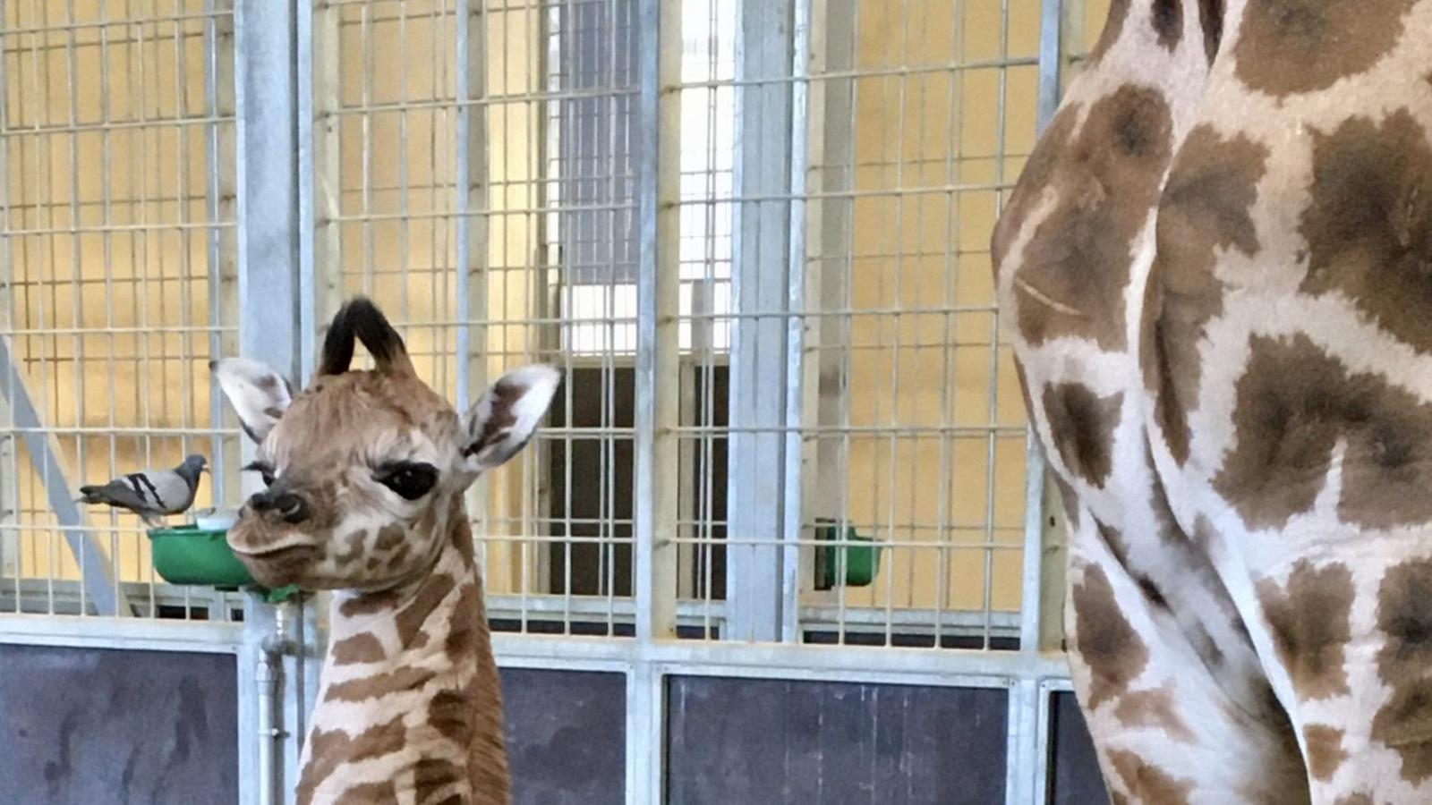 Neix la filla de la Nuru, una cria de girafa al Zoo de Barcelona