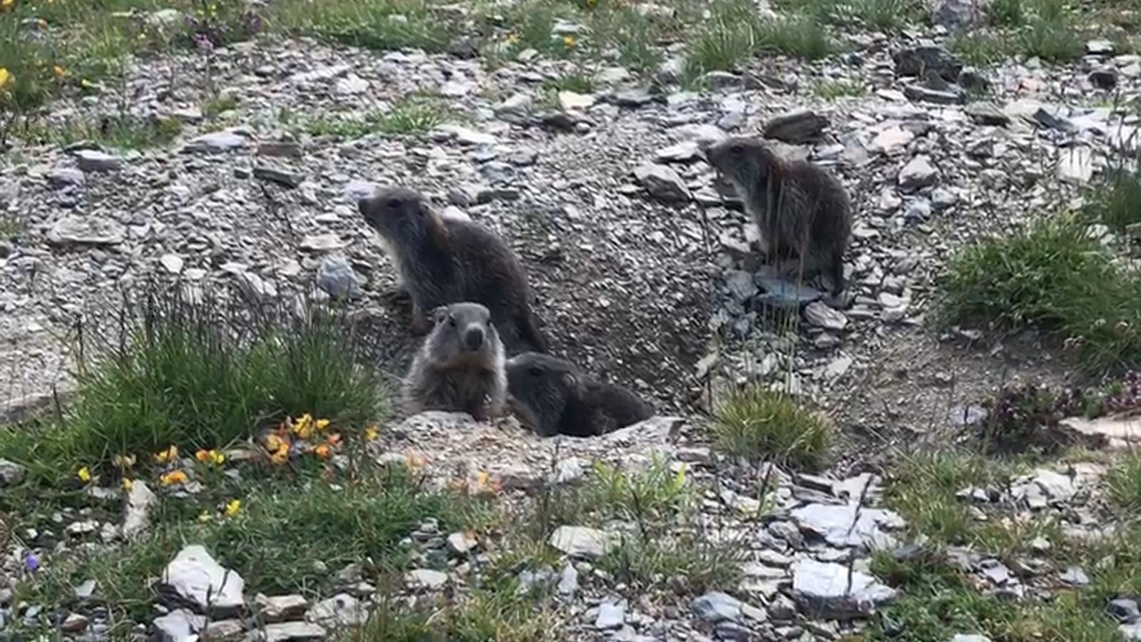 Marmotes a Soldeu