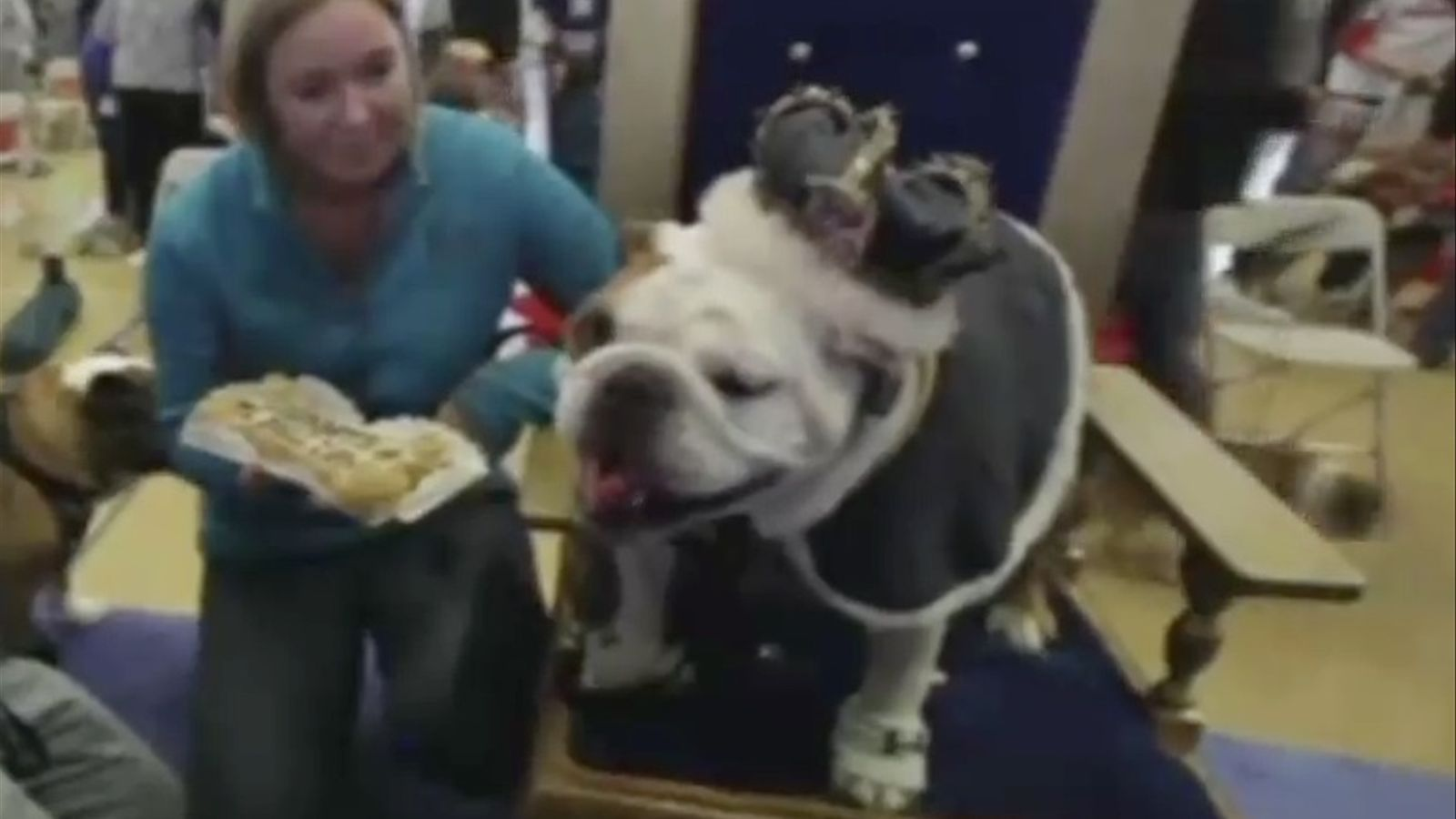 50 bulldogs es disputen el títol de 'The most beautiful bulldog'