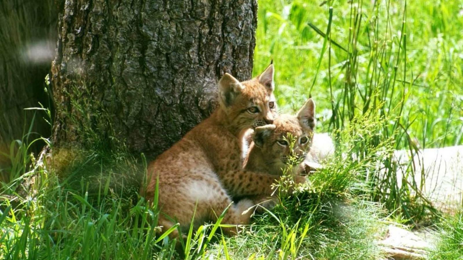 Les dues cries de linx boreal. / NATURLANDIA