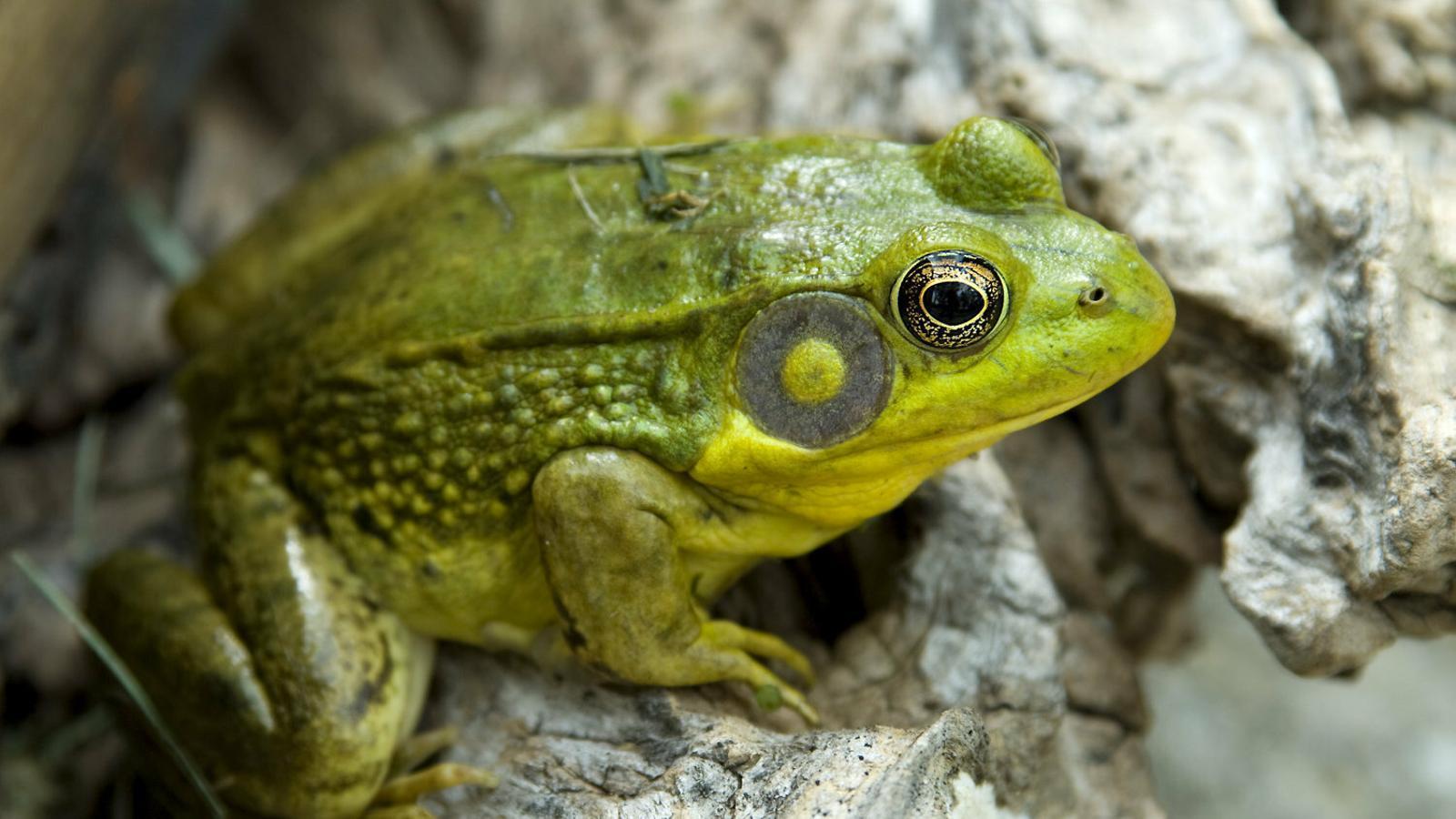 Un exemplar de granota toro, una espècie que ha arribat a Catalunya i que té una gran capacitat d'alterar els ecosistemes.