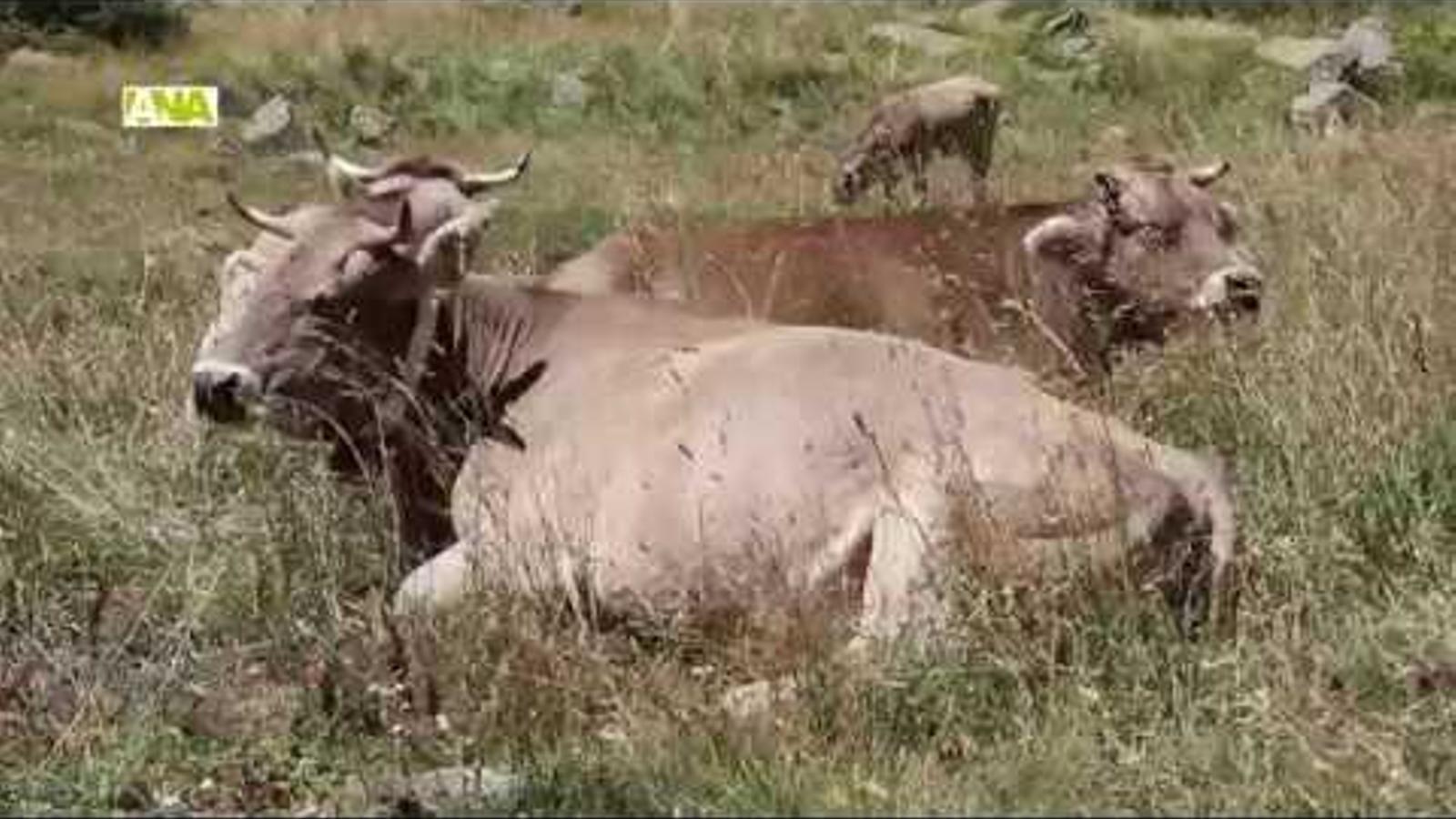 Les cases d'Ordino participen en la benedicció del bestiar a la vall de Rialb