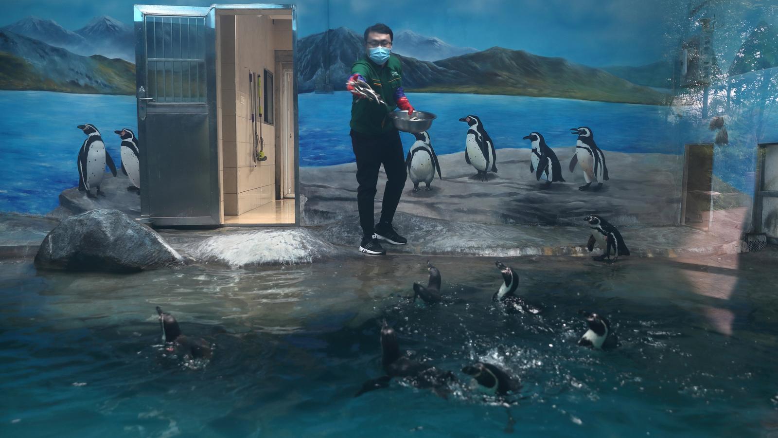 Un treballador del Zoo de Wuhan alimentant la colònia de pingüins