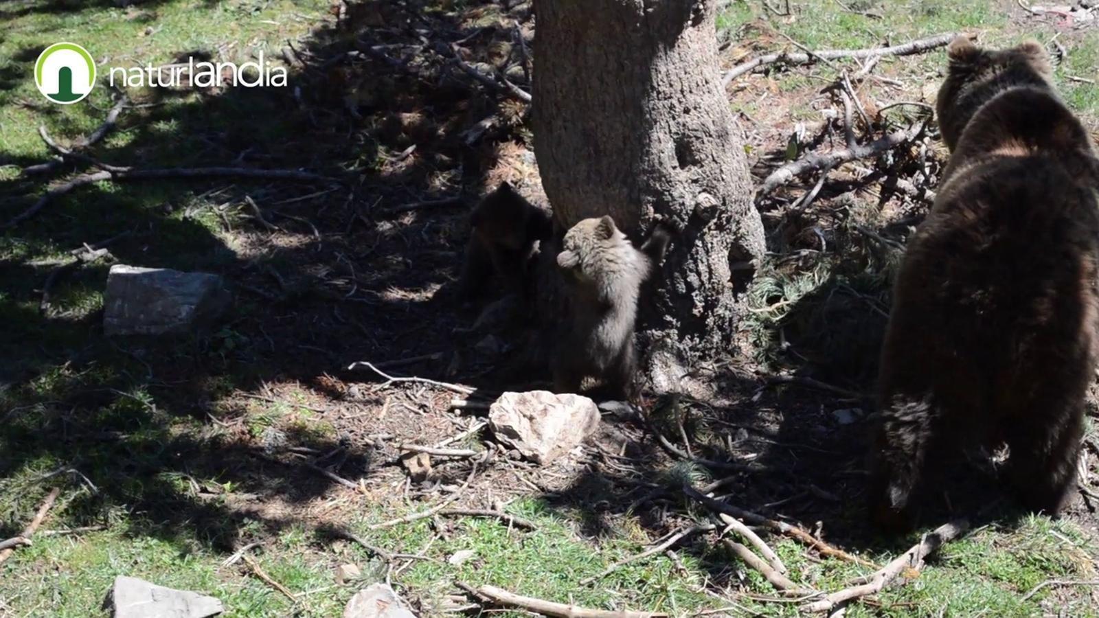 Imatges de les primeres cries d'ós que neixen a Naturlàndia