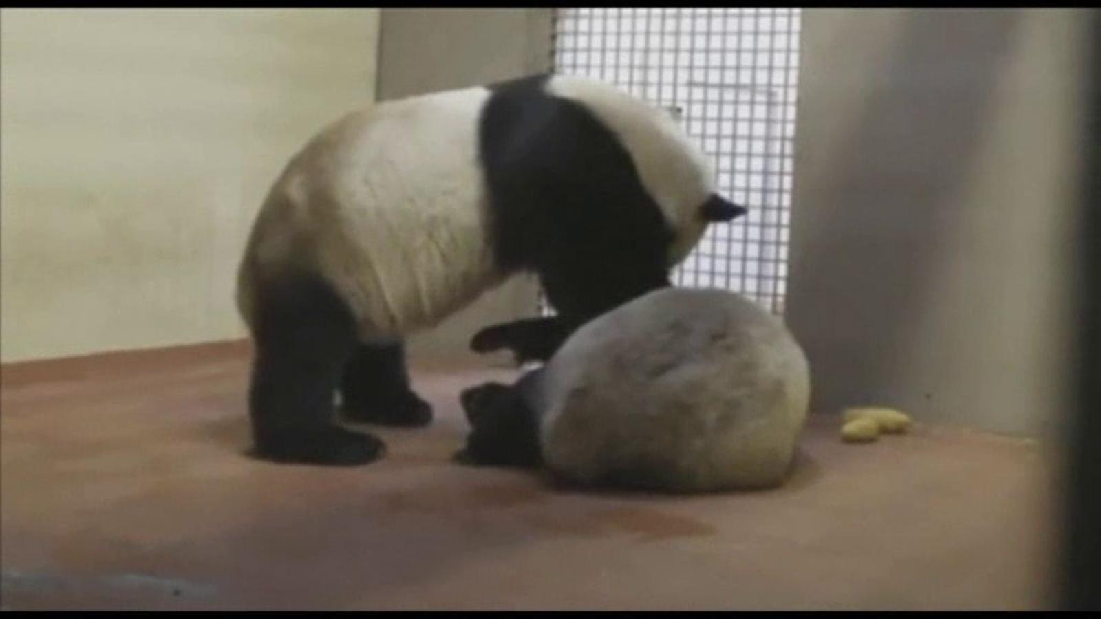 Aparellen els dos únics óssos panda del Regne Unit