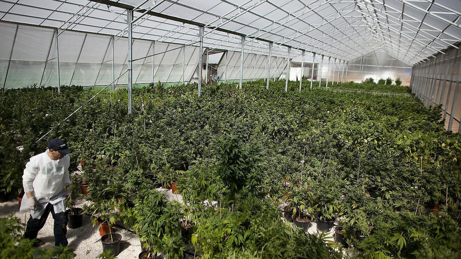 Una plantació de cànnabis per a usos terapèutics en un hivernacle a Safed, al nord d'Israel. / URIEL SINAI / GETTY
